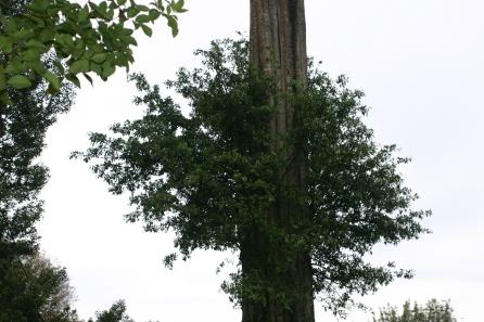 The strangler fig on the muna tree.