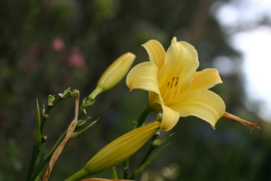 Yellow lily.