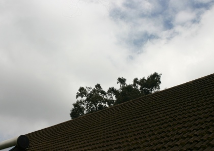The muna tree peeking over our roof.