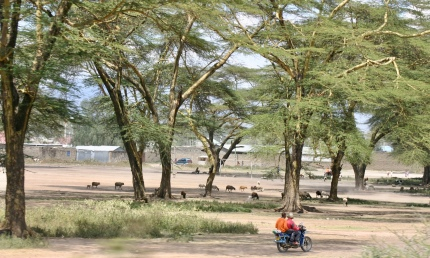A motorbike speeding along in a grove of giant acacia trees.