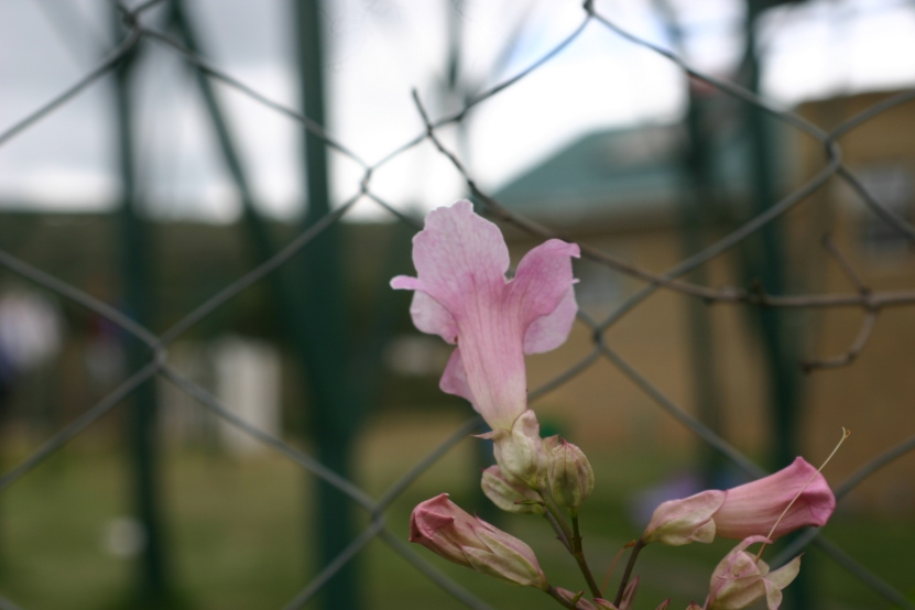 A lonely flower blooms on the fence of Restart.