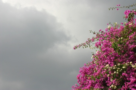 Bougainvillea is a very popular plant in Kenya and lends it's bright colors to almost any terrain.