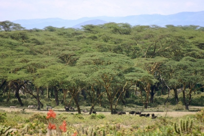 An acacia grove standing alongside the road.