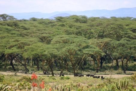 An acacia grove standing alongside the road.