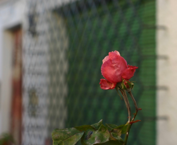 The first treasure of the day: a bright pink rose outside of the apartment.