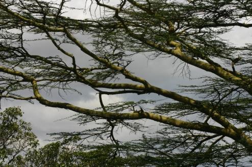 A yellow fever acacia tree.