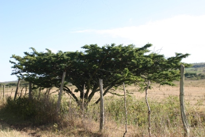 An acacia next to the road to Restart.